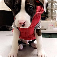 Adopt A Pet :: Drummer - Bristol, CT