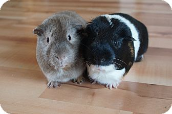 Guinea Pig for adoption in Brooklyn Park, Minnesota - Bob & Mr. Pickles