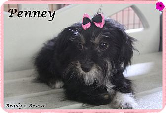 Schnauzer (Miniature)/Yorkie, Yorkshire Terrier Mix Dog for adoption in Rockwall, Texas - Penney