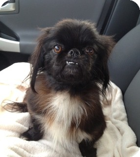 Shih Tzu/Yorkie, Yorkshire Terrier Mix Dog for adoption in Homewood, Alabama - Buddy