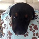 Adopt A Pet :: Molly's Pup Jackson