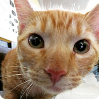 Ocicat Cat for adoption in Santa Monica, California - Simba (Playful!)