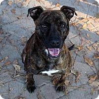 American Pit Bull Terrier Mix Dog for adoption in Augusta, Georgia - Django