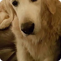 Golden Retriever Dog for adoption in Naples, Florida - Nani 608