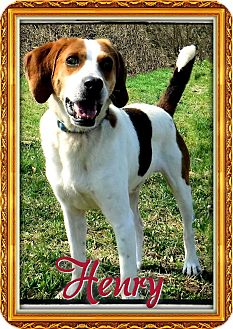 Foxhound Dog for adoption in Greensboro, Maryland - Henry