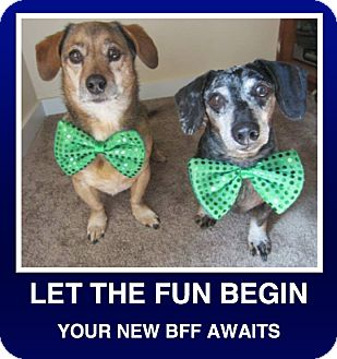 Dachshund Dog for adoption in Morrisville, Pennsylvania - Cesar & Deuce