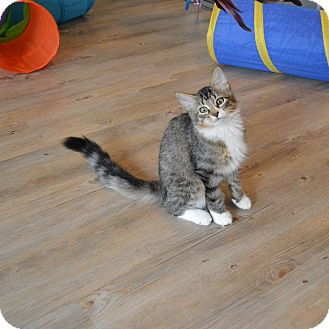 Domestic Mediumhair Kitten for adoption in St. Charles, Missouri - Izzie