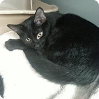 Adopt A Pet :: Noir - Paducah, KY