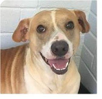Pit Bull Terrier/Labrador Retriever Mix Dog for adoption in Springdale, Arkansas - Lance