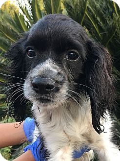 Cavalier King Charles Spaniel Mix Puppy for adoption in Santa Ana, California - Annie