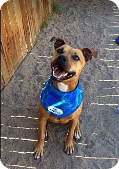 Boxer/Black Mouth Cur Mix Dog for adoption in Chandler, Arizona - MUFFIN