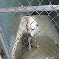 Boxer Mix Dog for adoption in Arcadia, Florida - A004616