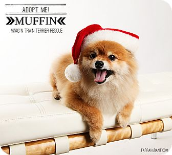 Pomeranian Dog for adoption in Omaha, Nebraska - Muffin