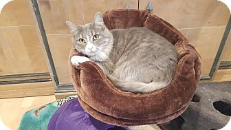 Domestic Mediumhair Cat for adoption in Fairfax, Virginia - Angel