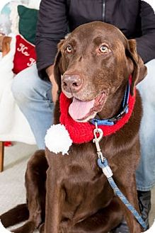 Labrador Retriever Dog for adoption in San Francisco, California - Hershey
