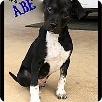 Adopt A Pet :: Abe - Buda, TX