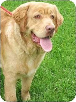Drake Adopted Dog 000350 Lake Odessa Mi Golden Retriever Newfoundland Mix