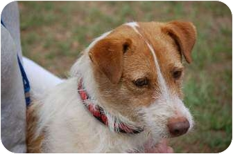 Nova Scotia Duck-Tolling Retriever/Jack Russell Terrier Mix Dog for adoption in Preston, Connecticut - Fast Eddie