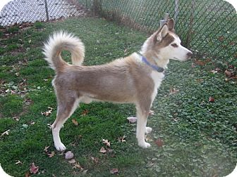 Siberian Husky Dog for adoption in Seymour, Connecticut - Connor