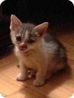 Domestic Shorthair Kitten for adoption in New York, New York - Torpedo