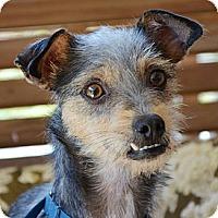 Adopt A Pet :: Maya - Brattleboro, VT