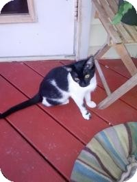 Domestic Shorthair Cat for adoption in Tampa, Florida - Marie