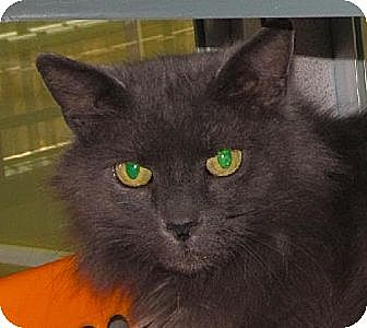 Domestic Mediumhair Cat for adoption in Walden, New York - Gracie