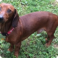 Dachshund Dog for adoption in Georgetown, Kentucky - Parker