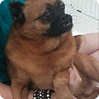 Adopt A Pet :: MONKEY - Odessa, FL
