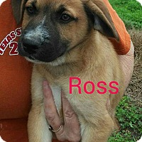 Adopt A Pet :: Ross (HAS BEEN ADOPTED) - Buffalo, NY