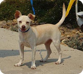 Chihuahua Mix Dog for adoption in Lathrop, California - Raina