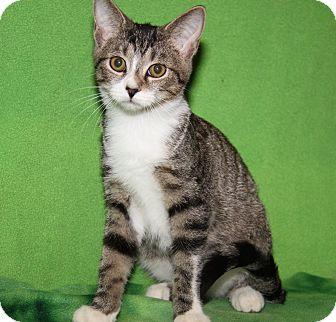 Domestic Shorthair Cat for adoption in Marietta, Ohio - Alcide (Sookie's Kitten)