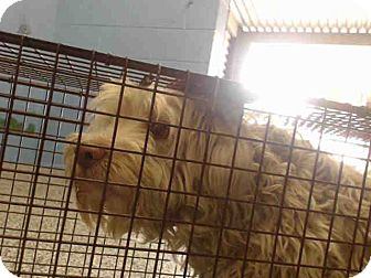 Poodle (Miniature) Mix Dog for adoption in San Bernardino, California - URGENT on 10/13 SAN BERNARDINO