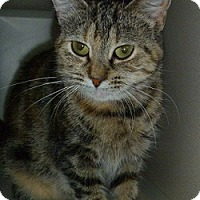 Domestic Shorthair Cat for adoption in Hamburg, New York - Nala