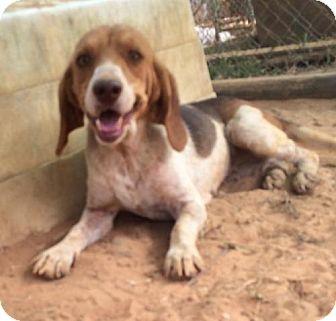 Beagle Dog for adoption in Slidell, Louisiana - Mary