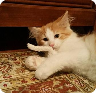 Domestic Longhair Kitten for adoption in Des Moines, Iowa - GEORGE