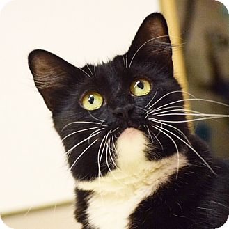 Domestic Shorthair Cat for adoption in Dallas, Texas - Audra
