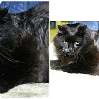 Domestic Longhair Cat for adoption in Forked River, New Jersey - Baily