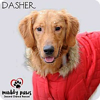 Adopt A Pet :: Dasher - No longer accepting applications - Council Bluffs, IA