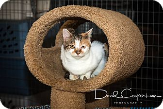 Calico Cat for adoption in Monterey, Virginia - Highland Scrumpy $35
