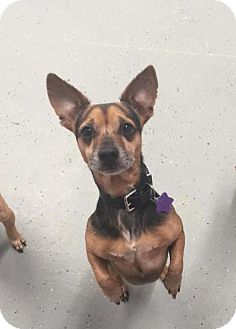 Dachshund/Miniature Pinscher Mix Dog for adoption in Phoenix, Arizona - Guns