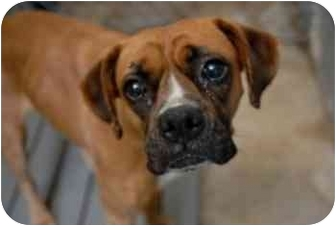 Boxer Mix Dog for adoption in Albany, Georgia - Suki