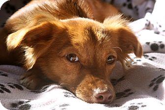Dachshund/Chihuahua Mix Puppy for adoption in san diego, California - CINNAMON GIRL