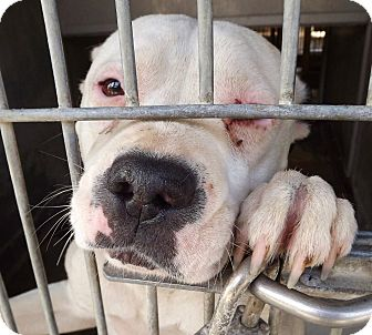 Staffordshire Bull Terrier/Pit Bull Terrier Mix Dog for adoption in San Diego, California - Bonnie URGENT