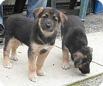 Shepherd (Unknown Type)/Collie Mix Puppy for adoption in Hamilton, Ontario - Puppies - 2F/2M