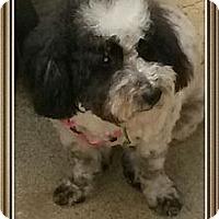 Adopt A Pet :: Cloe - Playa Del Rey, CA