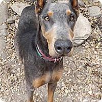 Adopt A Pet :: Cheyenne - Fillmore, CA