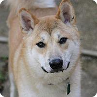 Adopt A Pet :: ChiChi - Manassas, VA