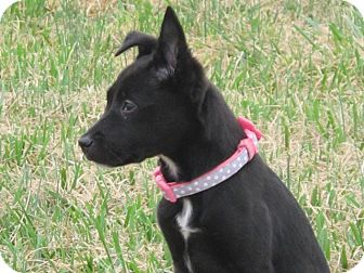 rat terrier australian cattle dog mix lucy lu adopted puppy smithfield nc australian 3192