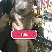 Adopt A Pet :: Belle - Sinking Spring, PA